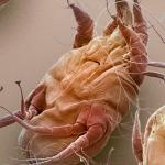 sarcoptic mange mite