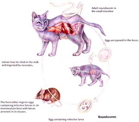 Roundworm lifecycle