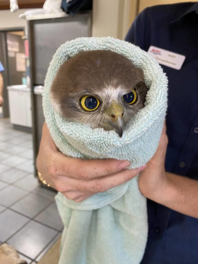 A Broken Barking Owl.
