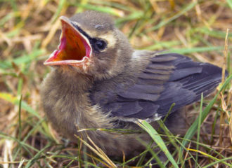 What To Do When You Find A Fledgling